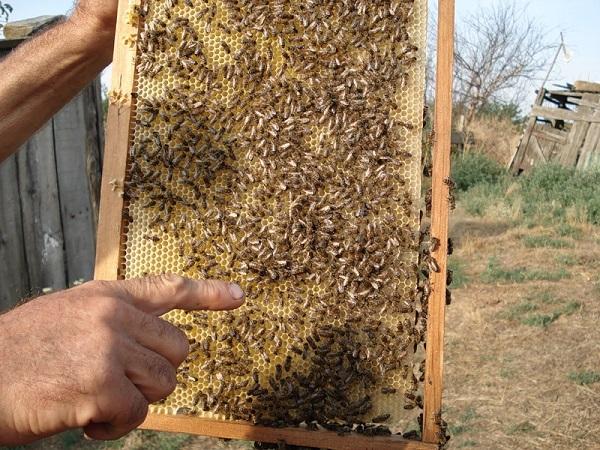 Пчелки на рамке с сотами