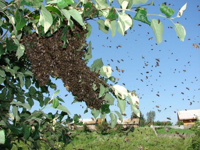 Опасное роение насекомых на дереве