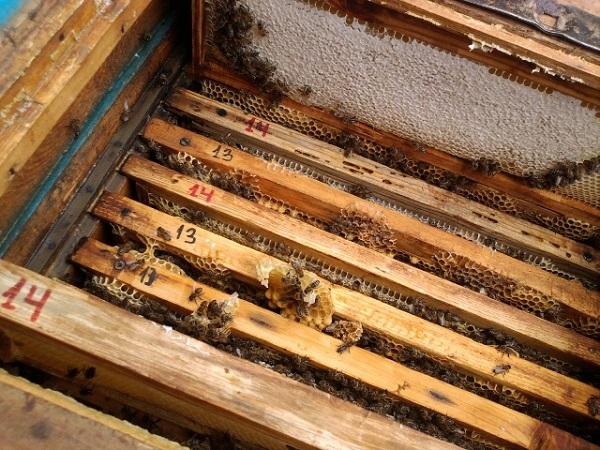 Осмотр пчелиного семейства