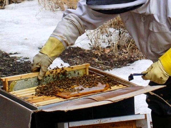 Пчеловод подкармливает пчелиные семьи