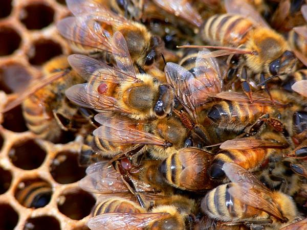 Рабочие пчелы с клещами на теле