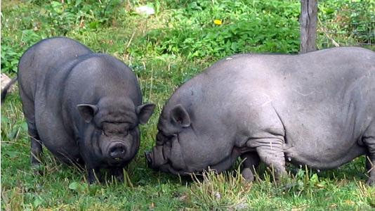 Вьетнамские свинки на лугу