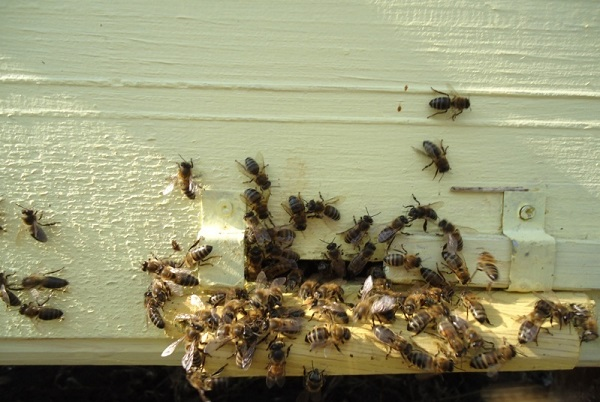 Рой насекомых возле летка