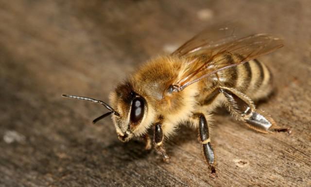 Акарапидоз у пчел: описание недуга, его лечение и видео
