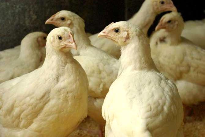 Подросшие бройлеры в птичнике