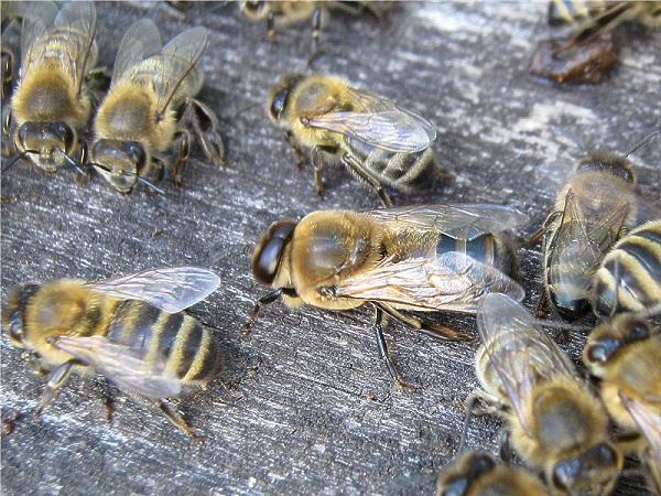 Рабочие пчелки и самец