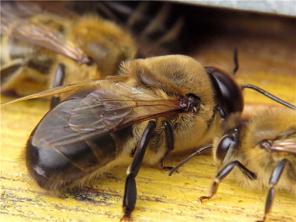 Вид самца пчелы сзади