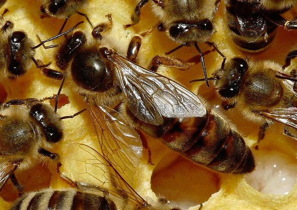 Пчелиная матка на сотах