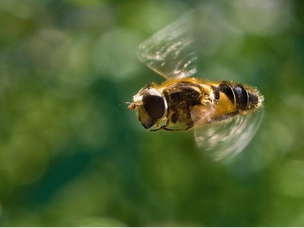 Пчела в полете крупным планом