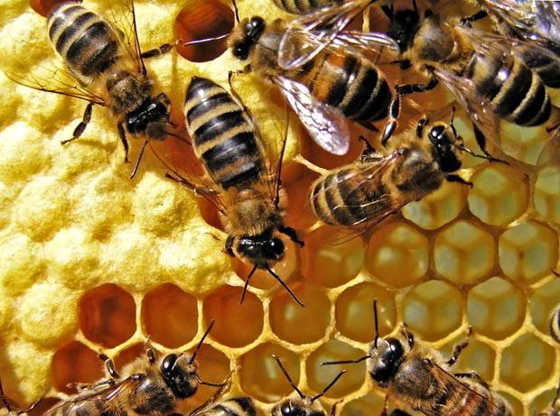 Пчелы на сотах в улике