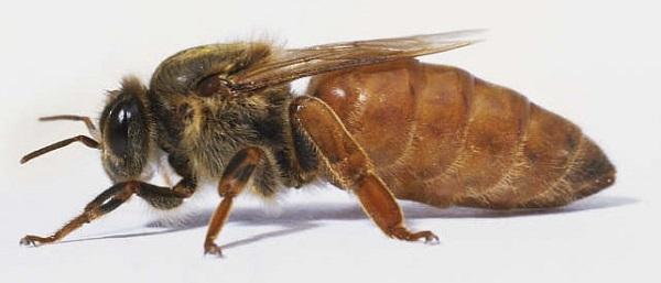 Пчеломатка крупным планом