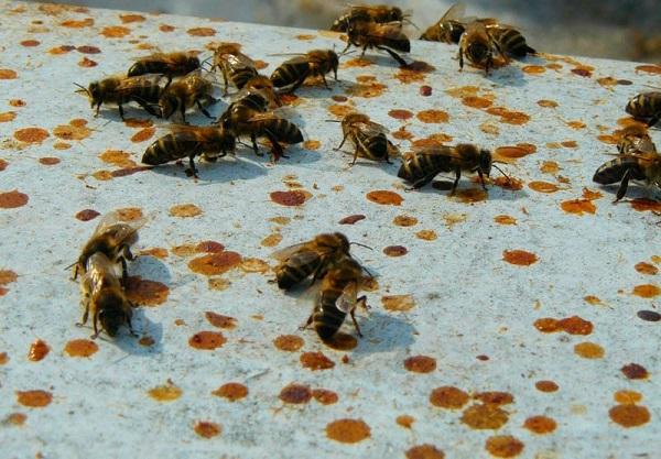 Пчелки во время очистительного облета