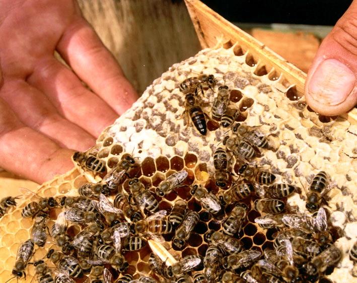 Осмотр пчел и маток