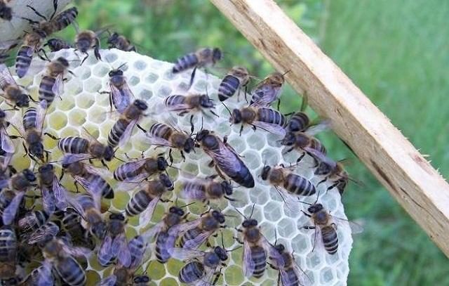 Польская порода пчел Карника