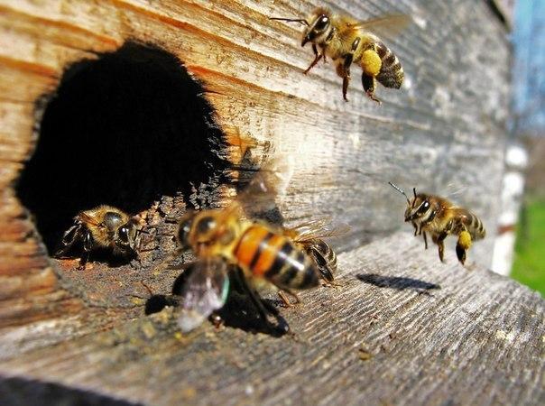 Рой полуобщественных пчел