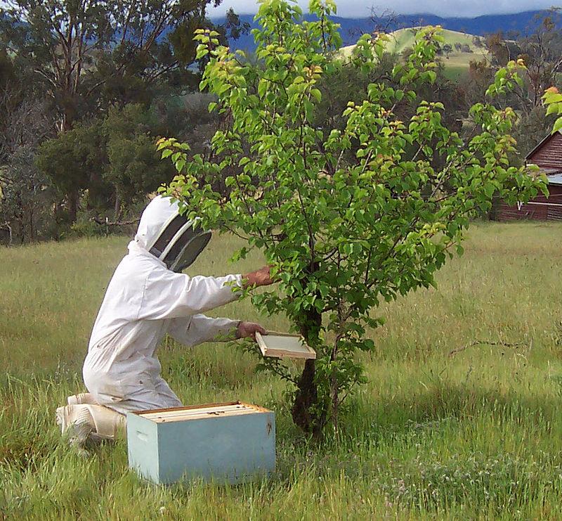 Пчеловод снимает рой в улей