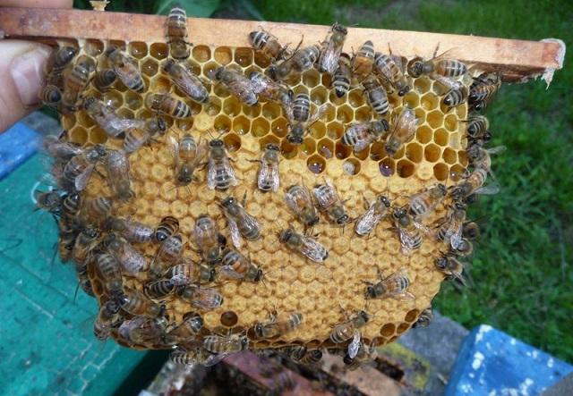 Пчелиный рой на рамке