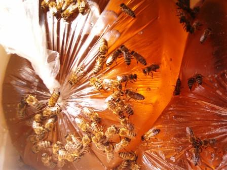 Пчелы едят сахарный сироп в целлофановой упаковке