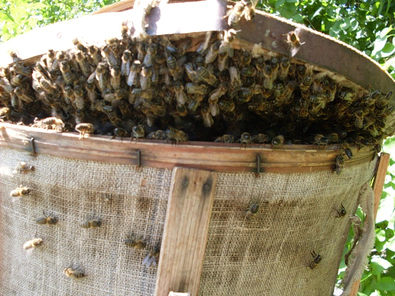 Рой пчел в круглой роевне