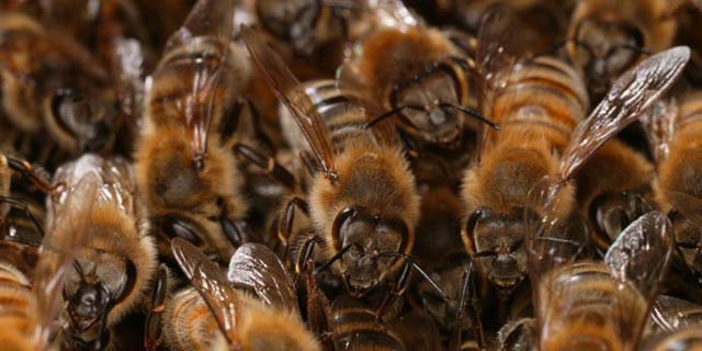 Характеристика пчел Бакфаст: описание породы с видео и отзывами