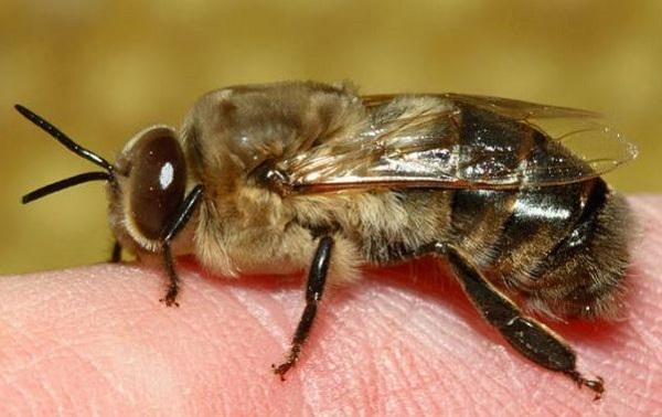 Мужской экземпляр пчелки на пальце