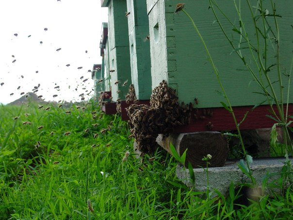Что делать, если муравьи появились в улье на пасеке