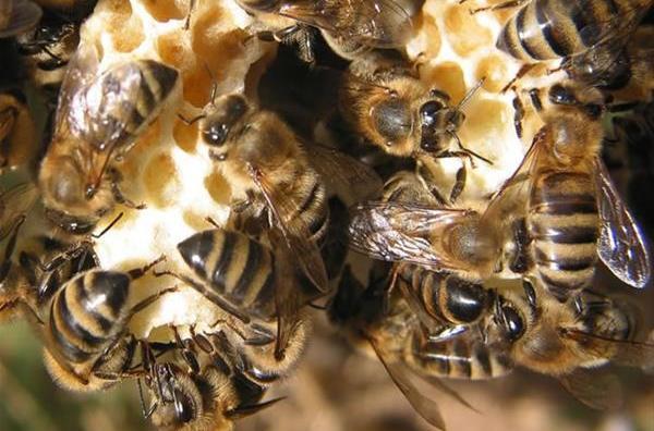 Пчелки на маточниках