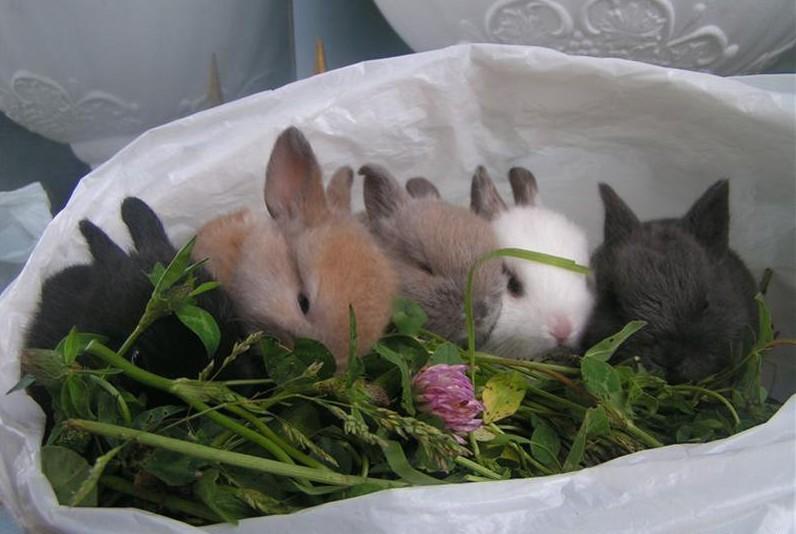 Карликовые крольчата привыкают к травке
