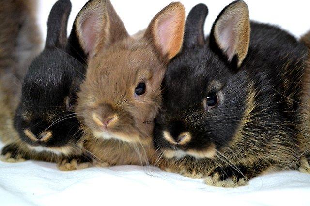 Трое карликовых крольчат