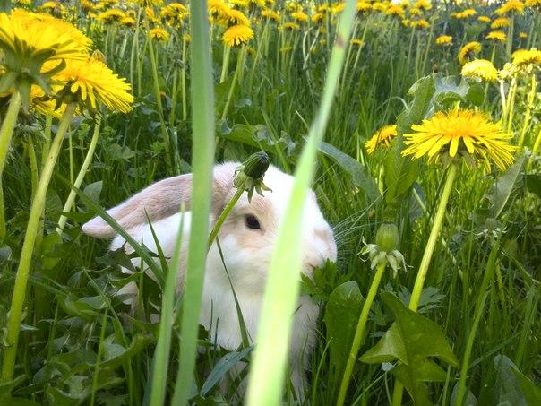Белый кролик в одуванчиковом поле