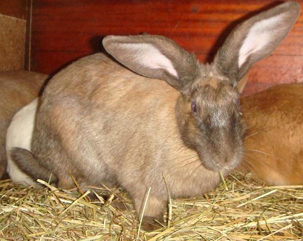 Беременная Новозеландская кролиха