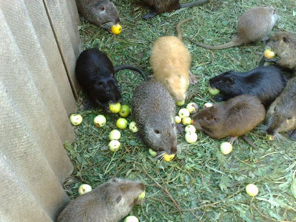 что едят бобры: