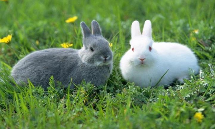 Два кролика среди одуванчиков