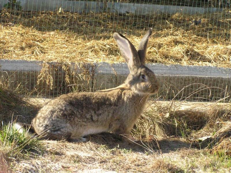 Испуганная крольчиха на ферме