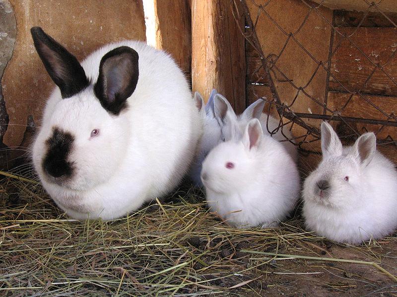 Кролик с потомством в ожидании обеда