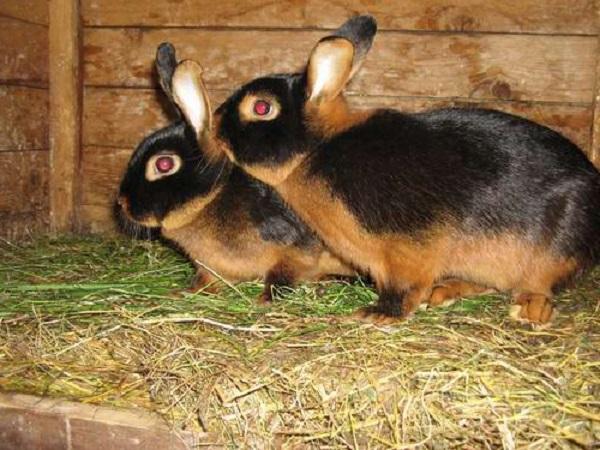Самец и самка в крольчатнике