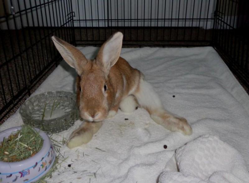 Крольчонок с парезом в клетке