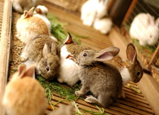Крольчата на взрослом рационе