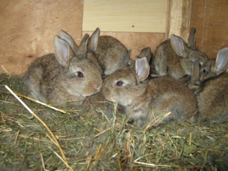 Кролики в возрасте трех недель