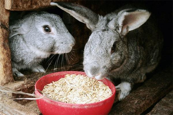 Крольчиха ест ячмень