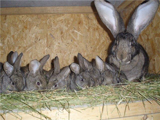 Крольчиха и подросшие крольчата