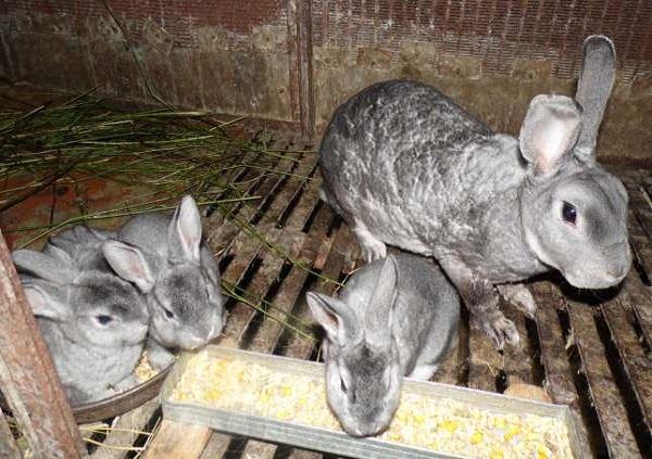 Крольчонок ест зерновую мешанку