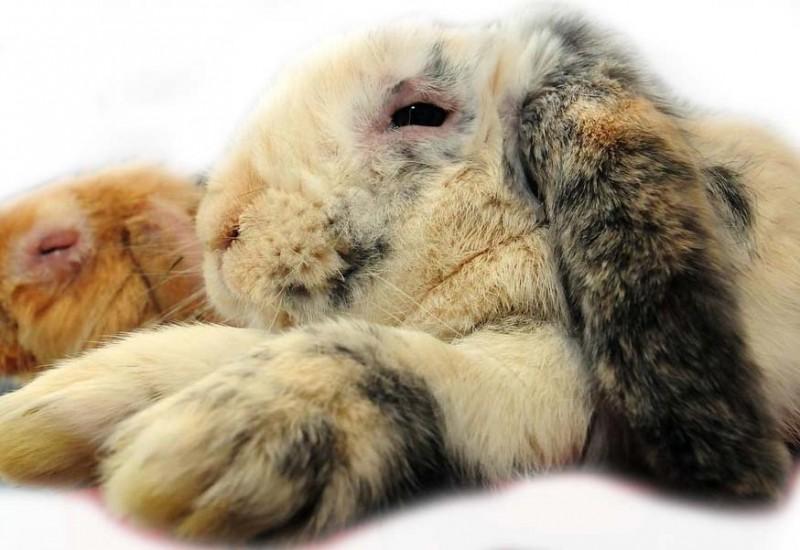 Кролик, болеющий миксоматозом