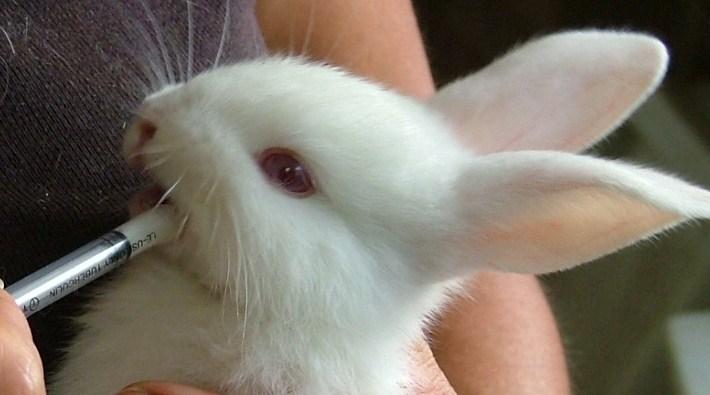 Кролик ест молочную смесь