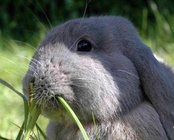Кролик ест стебли одуванчика