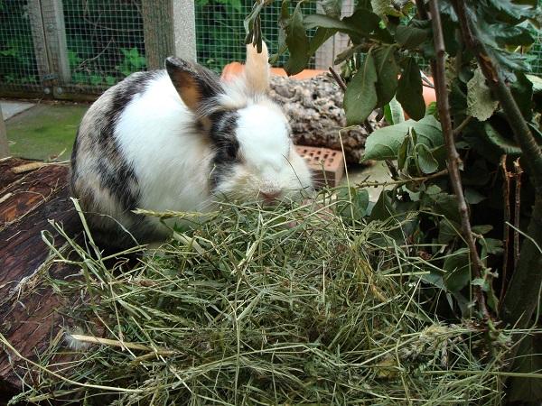 Кролик кушает сено
