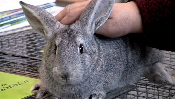 Чистый и ухоженный кролик