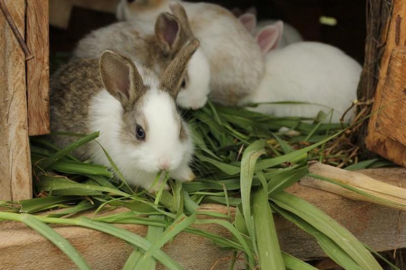 Кролики едят стебли кукурузы