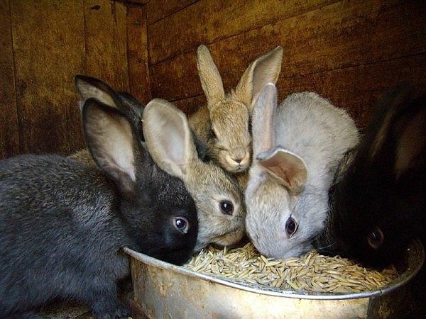 Как и чем кормить маленьких крольчат в домашних условиях: недельных, месячных и после отсадки