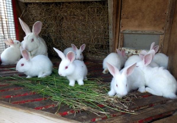 Подросшие крольчата с самкой